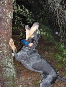 Blue Tick Coon Hound Hunting Dogs