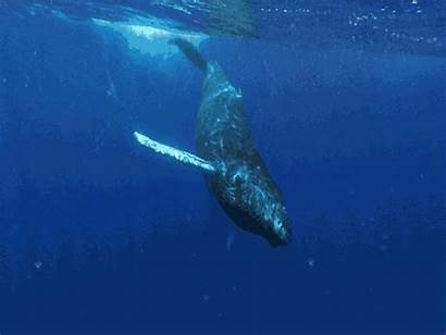 Whale Animals Swimming Away Trapped Marine Disentanglement