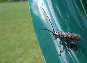 Pine Sawyer Beetle is Badly Camouflaged | Tiny Little Life