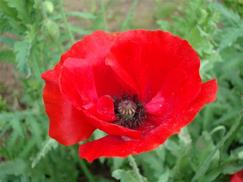 poppies the flower red poppy naturally beautiful