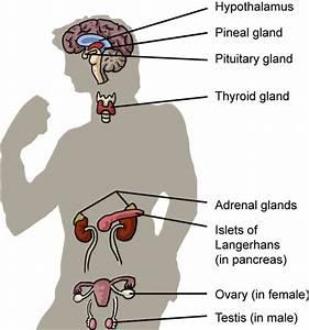 Biology The Endocrine System