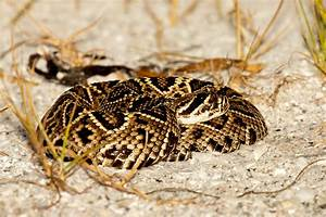 Rattlesnake Head Striking | www.pixshark.com - Images ...
