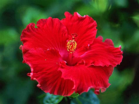 hibiscus flower wallpapers hibiscus flowers wallpapers