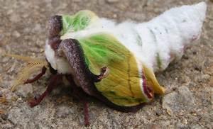 Luna Moth - Rare Specimen Archives - Page 15 of 35 - What ...