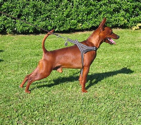 dogs we luv miniature pinscher the king of toys
