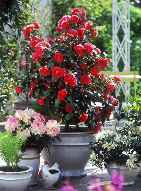 shrubs  containers  container gardening