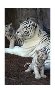 Life Cycle - White Tiger A.D.2012