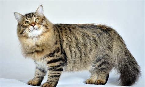 Siberian Cat  Purrfect Cat Breeds