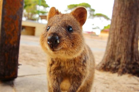 Things Know About The Super Cute Quokka Mental Floss