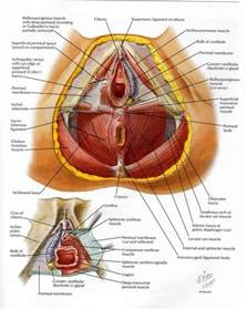 of human pelvic floor anatomy organ