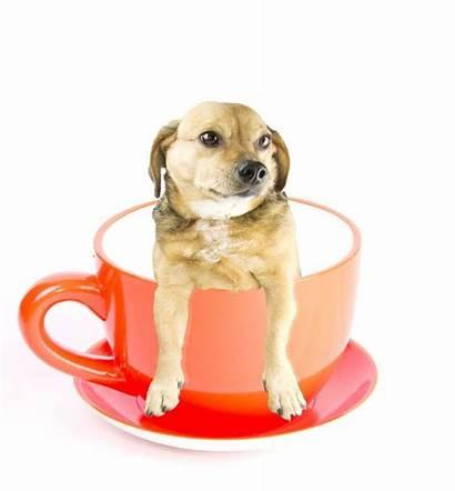 Teacup Dog Dogs Breeds Teacupdogdaily Cup Tiny