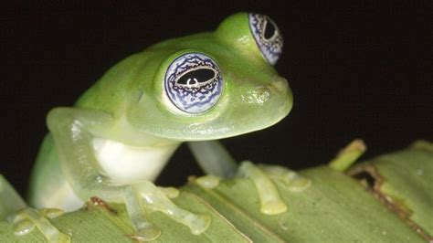 frogs  thin green  full episode nature pbs