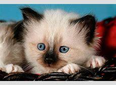 Heilige Birma Kitten Viele Tipps und süße Fotos » Tierportal