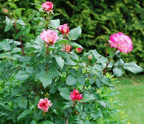 amour bureau photo gratuite roses jardin famille rosier