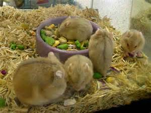 Baby Hamsters at PETCO for Sale