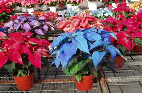 poinsettias colors my little cottage in the making the many colors of poinsettia plants