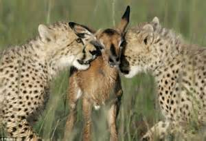 Cfa What Does It Stand For by The Moment A Baby Antelope Should Have Run As Hungry