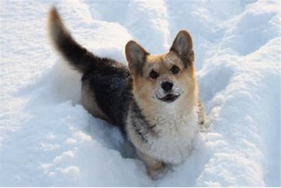 Corgi Dog Puppy Snow Gifs Tail Wagging