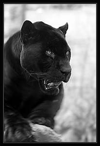 Black Panther |... Black Panther