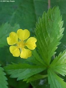 Potentilla, Simplex, Common, Cinquefoil, Minnesota, Wildflowers