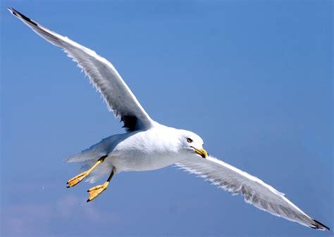 Il Gabbiano Uccello by Gabbiano Dizionario Senza Tempo