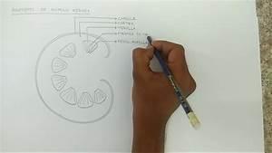 Easy Steps To Draw Human Kidney Anatomy