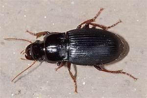 Schwarzer Käfer Im Haus : harpalus atratus schwarzer schnelll ufer k fer an wand harpalus atratus schwarzer ~ Somuchworld.com Haus und Dekorationen