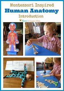 Montessori Human Anatomy Introduction