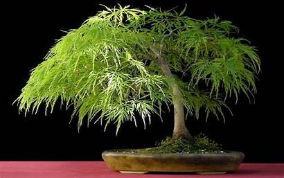 Bonsai Tree Desktop Widescreen Pixelstalk