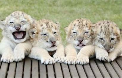 Babies Tiger Lion Rare Cubs Cutest Birth