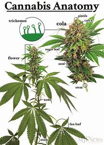 Cannabis 101  Parts Of The Plant