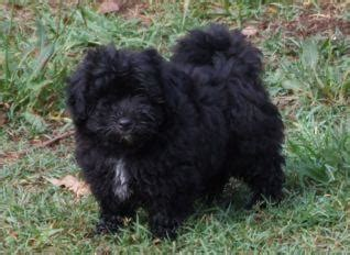 sale moodle puppy black