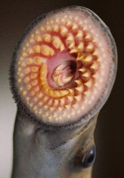 Close Up Of The Adult Sea Lampreys Jawless Suction Cup