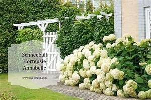 Welche Pflanzen Passen Gut Zu Hortensien : so finden sie die hortensie die zu ihnen passt von lilli ~ Lizthompson.info Haus und Dekorationen