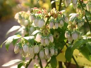 Heidelbeeren Im Kübel Pflanzen : heidelbeere 39 bluetta 39 vaccinium corymbosum 39 bluetta 39 baumschule horstmann ~ Watch28wear.com Haus und Dekorationen