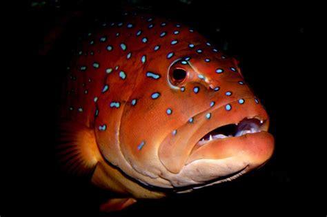 grouper vampire trout coral med fish spot plectropomus maculatus saltwater prev