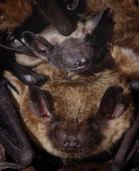 citizen science you can help count bats in pennsylvania