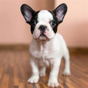 black and white french bulldog puppy | Future Family ...