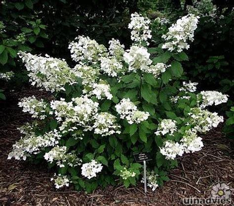 Strong Annabelle Erfahrungen by Hydrangea Paniculata Of Pluimhortensia Planten In De Tuin