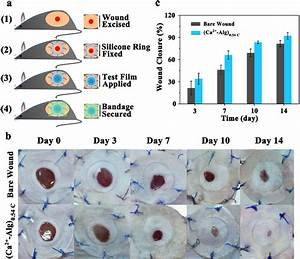 In Vivo Wound Healing Study A Schematic Illustration Of