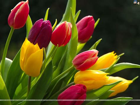 Tulip Image Desktop by Tulips Wallpaper 9