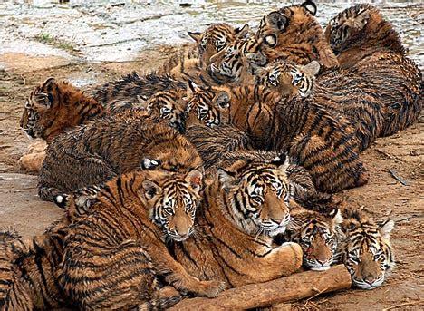 battery farm  tigers   big cats  body