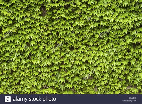 Green Climbing Plants On House Wall In Spring As B Stock
