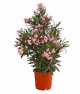 Oleander Winterhart Kaufen : oleander solit rbusch dehner ~ Eleganceandgraceweddings.com Haus und Dekorationen