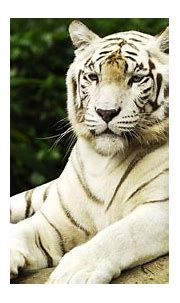 10 Best White Tiger Hd Wallpapers 1920X1080 FULL HD 1080p ...