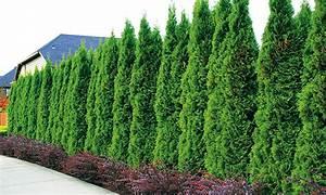 Thuja Smaragd Pflanzabstand : life tree hedge thuja smaragd groupon goods ~ Michelbontemps.com Haus und Dekorationen