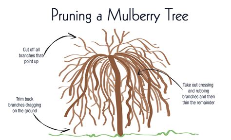 weeping mulberry tree care the appeal of the weeping mulberry view from the front porch growing food pinterest