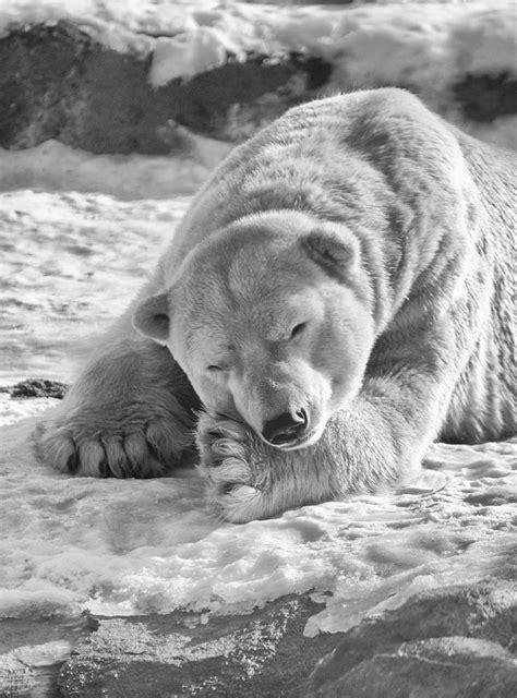 Best 25+ Polar bear tattoo ideas on Pinterest | Bear tattoos, Bear drawing and Drawings of bears