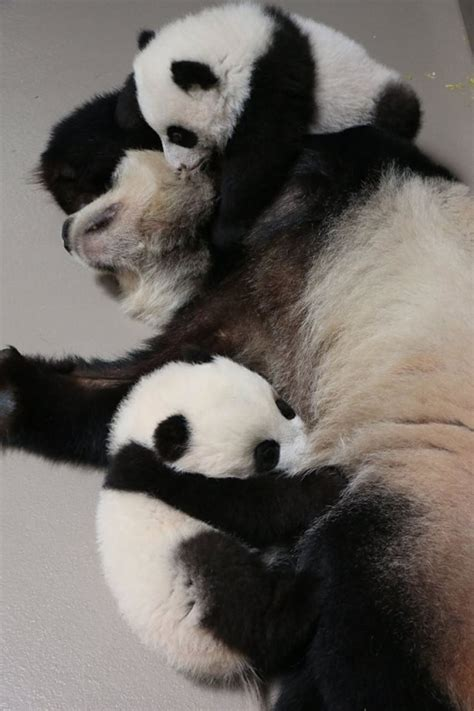 Visitors Can See Panda Cubs And Their Mom Starting March