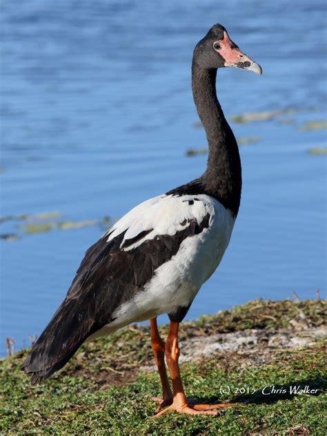 p da magpie 086 magpie goose waters thornlands 7 june 2015 comp signed redlands2030